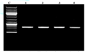 "PCR products of fungal DNA from pure culture after amplification with primers (5"" ACCCGCTGAACTTAAGC-3"") and (5""-TCCTGAGGGAAACTTCG-3"")."
