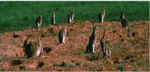 Rabbits population in Campbell town