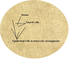 Stoma, guard cells and epidermal cells in tetracytic arrangements in stomata of leaf.