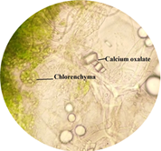 Calcium oxalate and chlorenchyma in lamina of leaf.