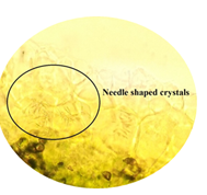 Needle shaped crystals in lamina of leaf.