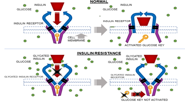 Glycation of Insulin and Insulin Receptors