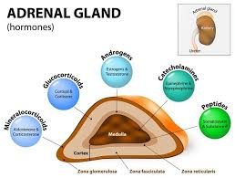 Image explains about Adrenal gland disorders