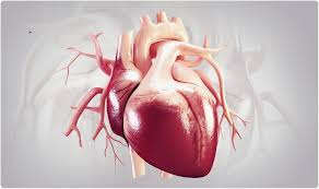 Image showing the heart structure