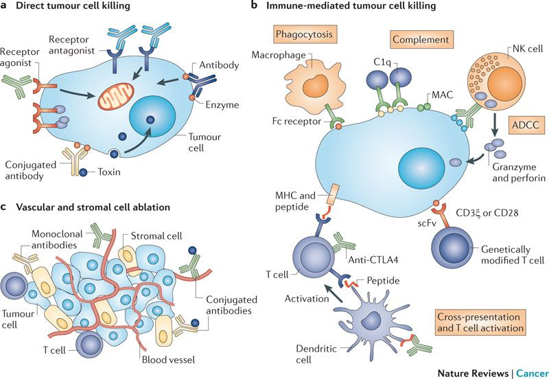 Image explains about Antibody therapy
