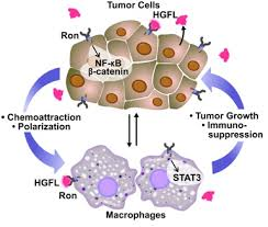Image explains about Cancer biology -Source Wikipedia